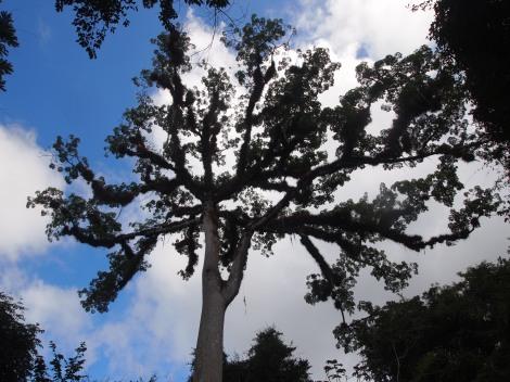 Crown of ceboia tree