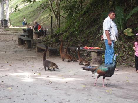 Golden turkey and Coatimundi