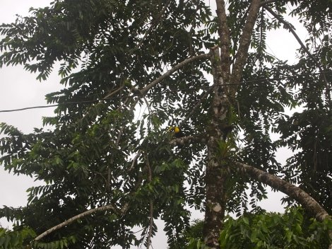 Glimpse the yellow-breasted, yellow-billed toucan just below the center  resting on a branch.  See him?