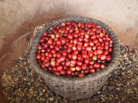 Mature coffee 'cherries'