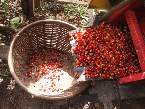 Crushing cherry coffee beans to remove skins
