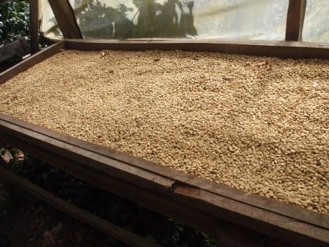 Rack of drying beans