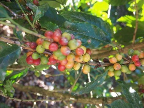 Immature 'green' coffee beans