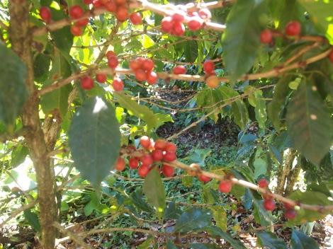 Cherry beans, ready for harvesting