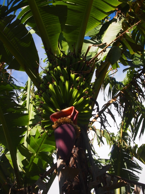 Banana tree on Juan's small farm