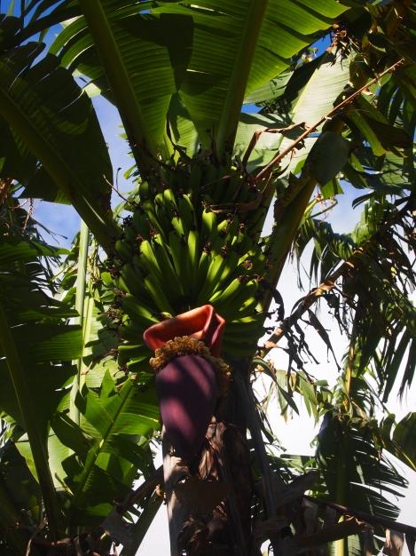 Banana tree on Juan's small farm
