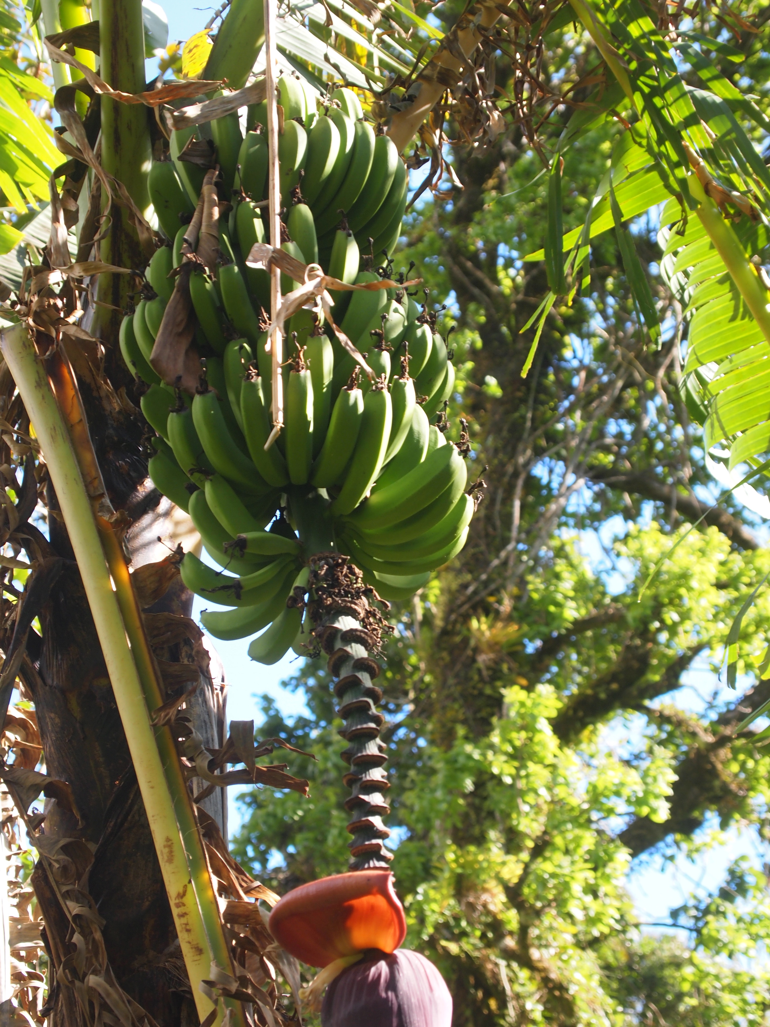 how to cut down banana tree after fruiting