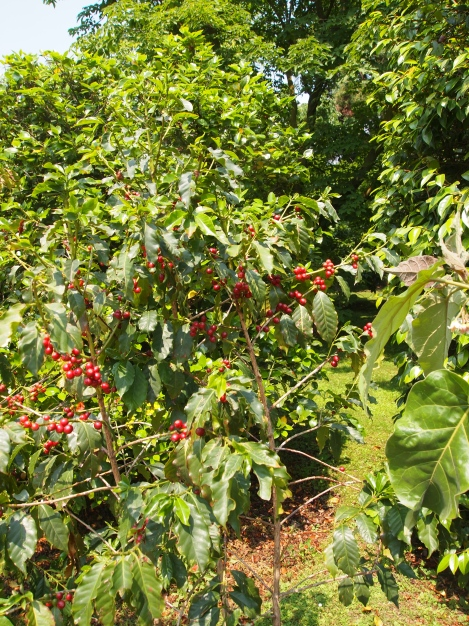 Coffee tree with red berries like we'd seen in Costa Rica in January