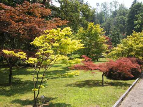 Grove of dwarf maple trees