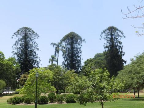 Bunya pines at Botanical Garden