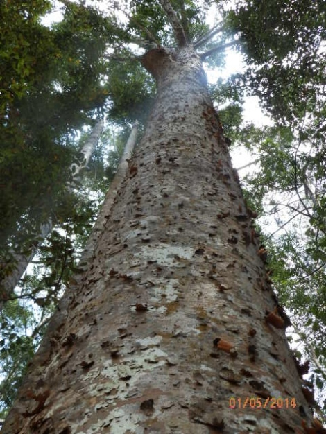 Kauri pine used in making ship masts