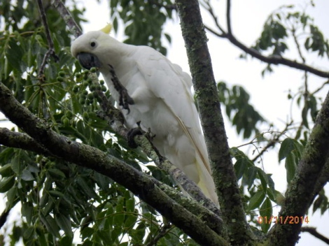 Cockatoo in Heather's front yard