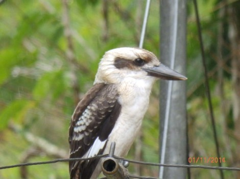 Laughing kookaburra on Heather's clothes line