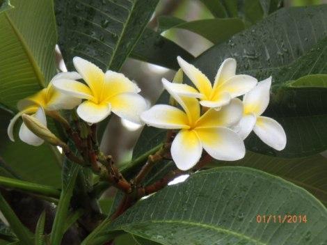 Fragrant frangipani blossoms