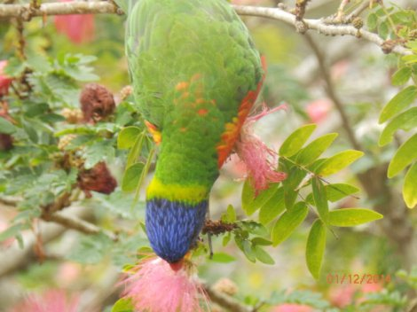 Parrot 'diving' to feed on pink flowers