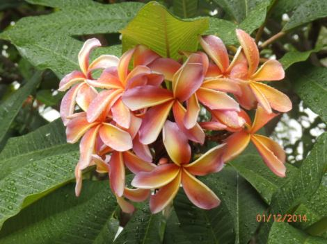 Rose-colored frangipani