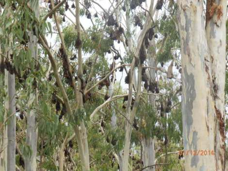 Roosting bats in stripped gum trees along Wild River