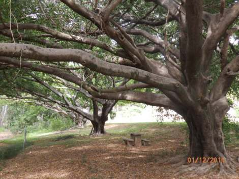 Grove of fig trees in Irvinebank park