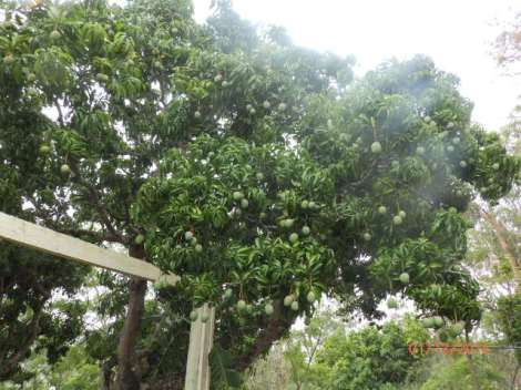 Mango trees in Heather's yard