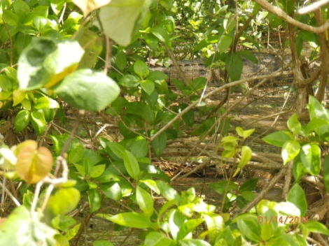 'Saltie' back in mangroves (near top of photo""