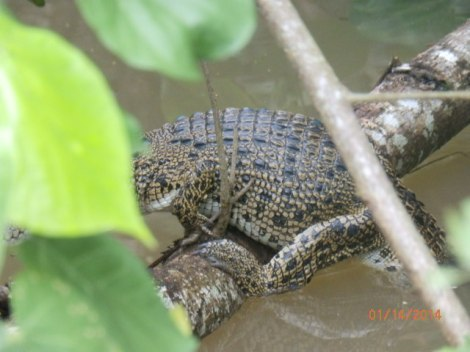 Smaller croc astride a submerged branch, partially visible.