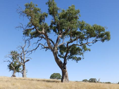 Stately gum trees on a hilltop