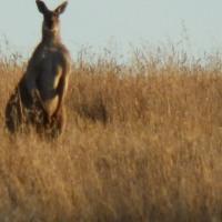 'Roos, Moos, Maggies, & Gums in Adelaide Hills