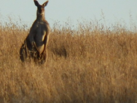 """Roo across paddock from Paech farm"
