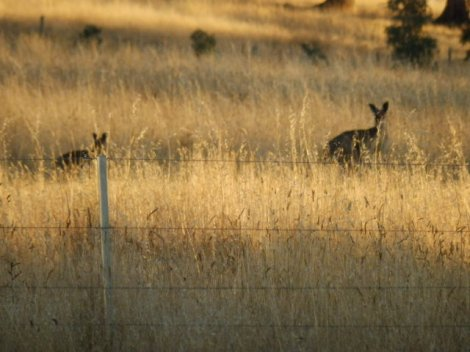 Grazing 'roos'
