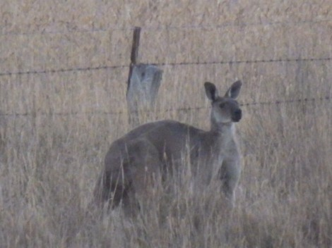 Moments after I took this, the 'roo jumped the fence and hopped across the next paddock into the trees