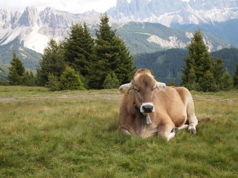 Even dairy cattle enjoy alpine views while grazing